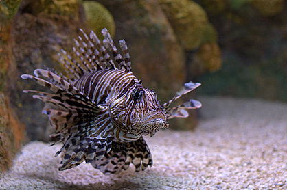 A picture taken by Si of a Lion Fish at the aquarium.